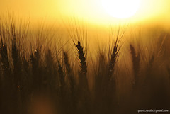 Wheat crops..in silhouette..with sunset in background.. (girishsarda18) Tags: sunset india silhouette countryside nikon wheat fields crops maharashtra sigma70300 bhandardara d3000 girishsarda