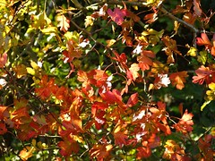 Autumnal hawthorn leaves in the morning sunshine. (Beardy Vulcan) Tags: autumn england plant fall nature leaves flora hampshire september shrub 2009 hawthorn basingstoke crataegusmonogyna oldbasing loddonvalley commonhawthorn basingstokecommon