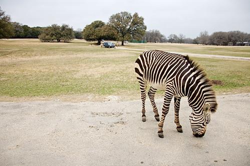 02-27-11 - Zebras 18mm