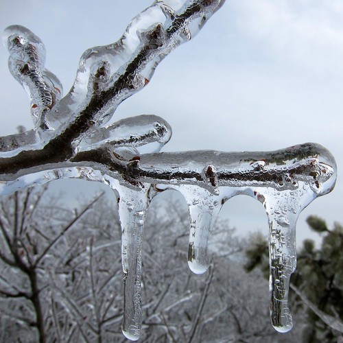 Mountain Laurel branch in ice