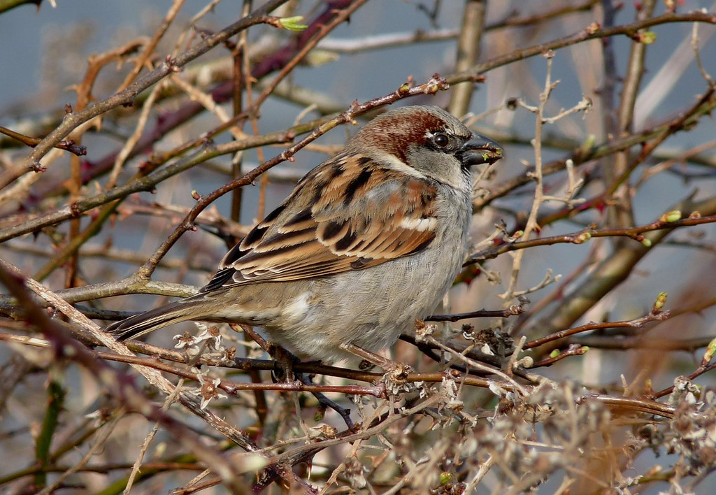 23939 - House Sparrow, Rhossili, Gower