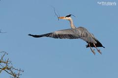 Grey Heron Ardea cinerea in flight (Nigel Blake, 10 MILLION...Yay! Many thanks!) Tags: heron its canon photography grey bill with flight ardea material blake nigel nesting cinerea eos1dsmkiii 600mmf4is