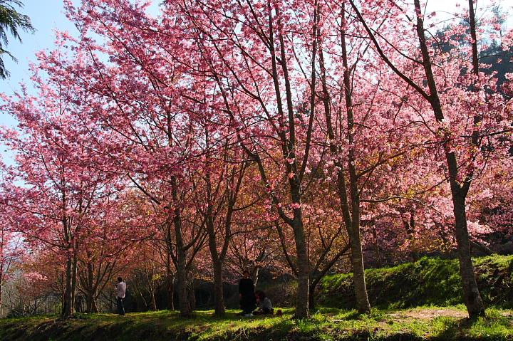 武陵農場櫻花066