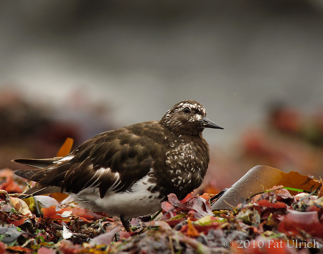 Black turnstone at Pillar Point Harbor - Pat Ulrich Wildlife Photography