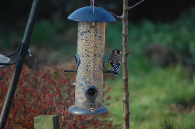 Goldfinches on a bird feeder