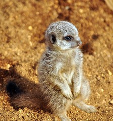 Baby meerkat (lamby1959.. Away for a while...) Tags: baby cute beautiful animal zoo meerkat nikon sweet ngc adorable tiny lovely cutest colchesterzoo d5000 mygearandme flickrstruereflection1 highqualityanimals
