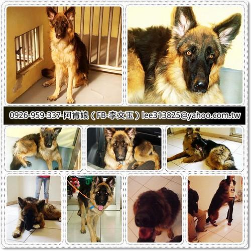 「助認養」應該是全國紀錄的德國狼犬阿三,四度被惡質人類遺棄進入收容所,又被領出,您是他最後一站嗎?20110310