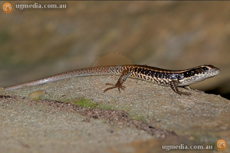 Eastern water skink (Eulamprus quoyii)
