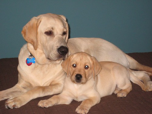 Mojo and Babe - yellow Labrador Retrievers