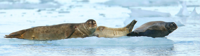 Harbor seals-4.jpg