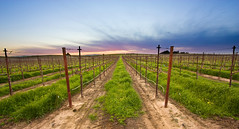 Vineyard II (Sealis) Tags: california sunset field photoshop canon landscape vineyard elements grapes bayarea agriculture brentwood northern ultrawide pse 1022 exposureblend