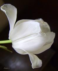 Turning Translucent Gracefully! (gypsie2 ~ On/Off) Tags: white flower macro nature ngc npc tulip 2011 excellentsflowers natureselegantshots s100fs