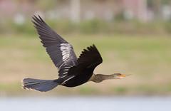 Anhinga in Flight (female) (Phil Armishaw) Tags: wild copyright birds phil florida flight fields sarasota celery anhinga 2011 armishaw