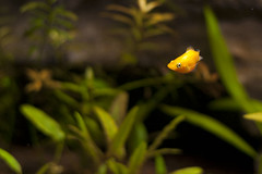 Fanta (Korosive) Tags: fish argentine aquarium tank live balloon molly sword 20 bearer gallon flourite seachem