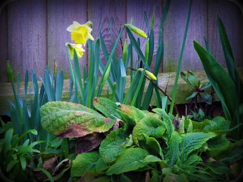 Daffodils by Merrily Me