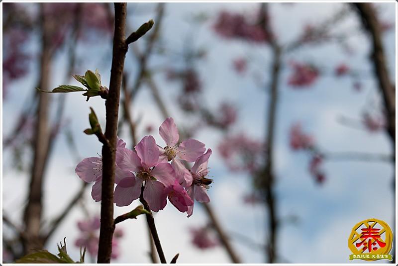 2011-03-06 滬尾櫻花步道a (2)
