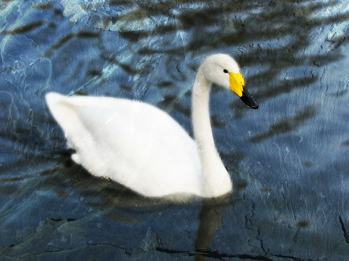 Whooper swan in Regents Park by Helen (back, but still not caught up)