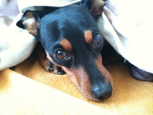 自宅待機の黒犬