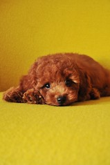 my mom says i am the naughtiest puppy in the whole wide world.. (girl enchanted) Tags: red puppy toy poodle pinocchio toypoodle poodlepuppy redpoodle