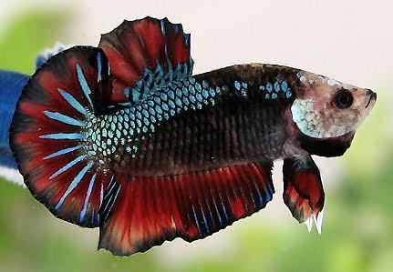 Ternak Ikan Cupang Lahan Bisnis Sampingan Menggiurkan |