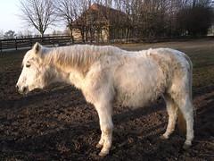 Pferdchen mit Winterpelz   - 044 (roba66) Tags: horse animal animals caballo tiere creature pferd trabalho tier galope chaval horsepferd roba66 roa66