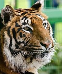 Indy - Royal Bengal Tiger (Jas Mahal) Tags: nature animal zoo nikon tiger bigcat paradisewildlifepark nikond7000 ronin237