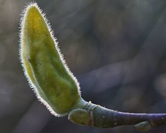 Magnolia Bud (algo) Tags: hairy green interestingness spring soft bokeh explore twig magnolia buds bud algo hairs explore241
