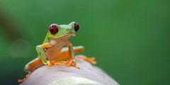 [フリー画像] 動物, 両生類, カエル, 201103250500
