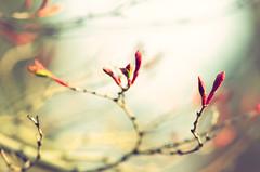 Buds (koeb) Tags: nikon acer buds mainz garten palmatum knospen botanischergarten ahorn fächerahorn nikkor105mmf28gvrmicro d7000