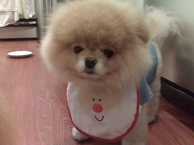 boo_Pomeranian_Dog_02