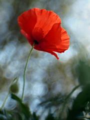 Celebrate the Sun (Anne Worner) Tags: blur flower lensbaby bokeh poppy impressionist composer ourtime cityart wefi amazingbokeh superamazingbokehaward sweet35