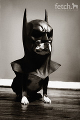 BatMaddie (studiofetch) Tags: dog studio bostonterrier mask ears batman dogphotographer studiofetch
