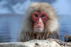 Is that really me in the lens? (Jean-Franois Chnier) Tags: japan monkey asia  onsen nagano japon  singe macaque singes snowmonkey   japanesemacaque  yudanaka   scimmia  specanimal   jfcpix
