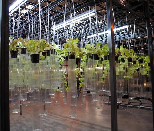 Hydroponic Lettuce SFGS