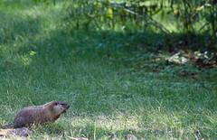 Groundhog (LastNitesFun) Tags: october2016 ivycreeknaturalarea groundhog woodchuck whistlepig commonlowlandmarmot