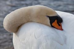 Swan (JOAO DE BARROS) Tags: barros joo swan portrait animal bird sleep