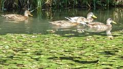 Enten auf der Insel Mainau