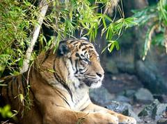 Anglų lietuvių žodynas. Žodis tiger-eye reiškia n = tiger's-eye lietuviškai.