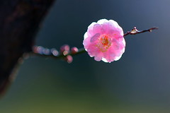 圓圓滿滿 - Pink Plum Blossoms - Taichung City municipal Shuang-Shih Junior High School (prince470701) Tags: taiwan 櫻花 sigma70300mm cherryblossomssakura sonya850 sony135zaf18 台中市雙十國中 taichungcitymunicipalshuangshihjuniorhighschool