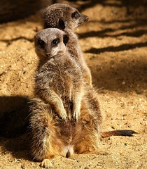 A Pair of Meercats (saxonfenken) Tags: two animals zoo furry grandmother meercats mammals bigmomma gamewinner 6942 challengewinner favescontestwinner friendlychallenge thechallengefactory fotocompetitionbronze yourock1stplace gamex2winner herowinner ultraherowinner storybookwinner gamex3winner pregamewinner pregamesweepwinner ultraherochallenge fromyourlatestpage pregameduelwinner 6942animals