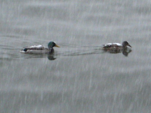 snow-covered ducks
