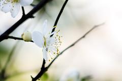 (samyaoo) Tags: bokeh plum taiwan  plumblossoms    ef100mmmacrof28