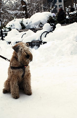 Wheaten Terrier - Union Square (Rachel Citron) Tags: nyc newyorkcity winter dog snow youth bloomberg downtown manhattan streetphotography wheatenterrier unionsquare blizzard dogrun streetshot nikond40x