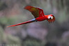 Scarlet Macaw (Ara macao) (Jeluba) Tags: bird nature canon costarica wildlife aves ornithology birdwatching oiseau ara scarletmacaw aramacao neotropical ararouge arakanga