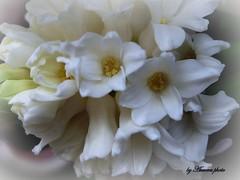 Corazn de jacinto blanco (Aurora3) Tags: flores detalle invierno blancos bulbos 2011 jacintos aurofot mimamorflowers corazndeflor