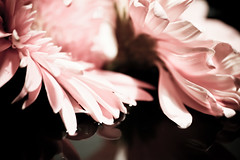 Softly sweetly (SolsticeSol) Tags: pink flowers stilllife nature floral beautiful horizontal closeup blackbackground photography soft sweet nopeople petal elegant delicate freshness twoflowers pinkflowers beautifulflowers prettyflowers softpink colorimage fragility flowersonblack picturesofflowers flowerswithablackbackground beautifulflowerpictures beautifulflowerimages prettyflowerpictures gorgeousflowerimages elegantandlovely pinkflowersonblack flowersflowersflowersflowers