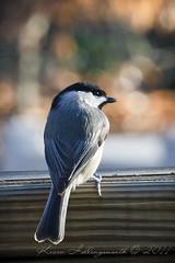 Carolina Chickadee (Kevin Hollingsworth Photos) Tags: bird nature birds virginia bokeh williamsburg carolinachickadee poecilecarolinensis flickraward bestcapturesaoi carlsbirdclub