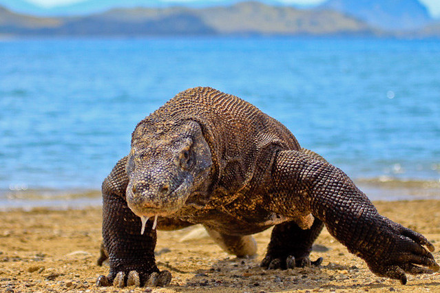 Komodo Dragon on Rinca Island near Labuan Bajo