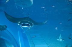 ナンヨウマンタ, 沖縄美ら海水族館