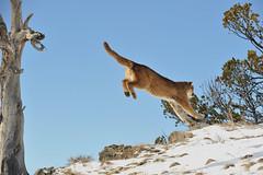 Mountain Lion Jumping (Ami 211) Tags: usa snow feline puma cougar bigcats mountainlion pumaconcolor felidae felinae mountainlionjumping cougarjumping pumajumping mountainlioninsnow cougarinsnowpuma